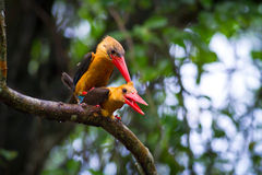 Stork-billed Kingfisher and Brown-winged Kingfisher Mating Stock Photos