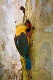 Stork-billed Kingfisher fedding Stock Images