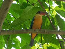 Stork billed kingfisher stock photography