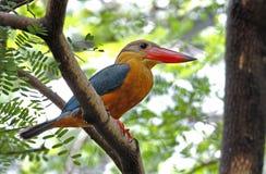 Stork-billed Kingfisher Pelargopsis capensis Royalty Free Stock Image