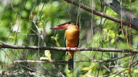 Stork-billed Kingfisher Pelargopsis capensis - tree kingfisher distributed in the tropical Indian subcontinent and Southeast As stock video footage