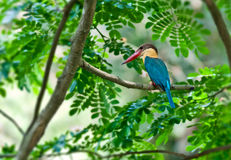 Stork-billed Kingfisher,Perched,Tree branch,green Stock Photos