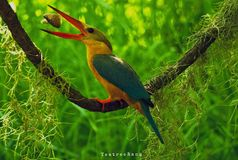 Stork-billed kingfisher took the morning breakfast royalty free stock photos