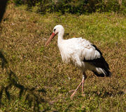 Stork bird Royalty Free Stock Photography