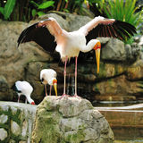 Stork bird Royalty Free Stock Image