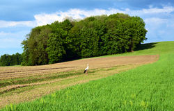 Stork bird on field - natural habitat Stock Image