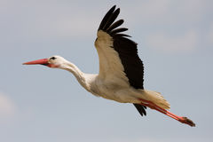 Stork bird in flight Stock Photography