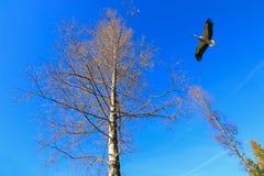 A stork bird flying near big tree against blue sky Royalty Free Stock Photos