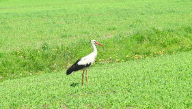 Stork bird on grass Stock Photo