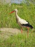 Stork bird on grass Royalty Free Stock Photo
