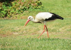 Stork bird on grass Royalty Free Stock Images