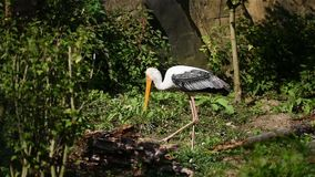 The stork bird latin name mycteria leucocephala is standing in the river. Big stork bird with yellow beak and white feathers liv. Ing in Asia stock footage