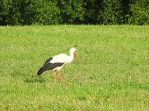 Stork bird  in meadow Royalty Free Stock Images