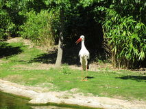 Stork. Bird, nature, lonely Royalty Free Stock Image