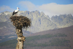 Stork bird on nest Royalty Free Stock Photos