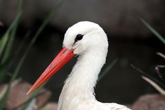 Stork Bird Portrait Royalty Free Stock Photo