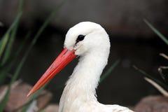 Stork Bird Portrait Royalty Free Stock Photo