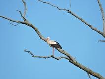 Stork bird on tree branch Stock Photo