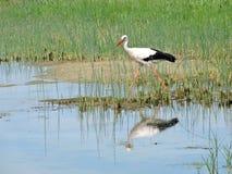 Stork bird. Walking near lake, Lithuania Stock Photo