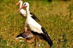 Stork, Bird, White Stork, Plumage Stock Images