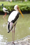 Stork birds Stock Photography