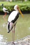 Stork birds. Walking on stone at the lake Stock Photography