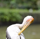 Stork birds. Straighten feather on the morning Stock Image