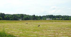 Stork birds walking in meadow, Lithuania Stock Images