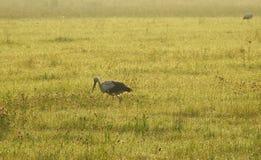 Stork birds walking in meadow, Lithuania stock photo