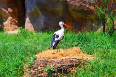 Stork standing in nest Royalty Free Stock Photo