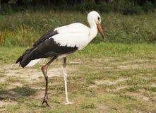 Stork with broken leg Royalty Free Stock Photos