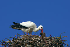 Stork builds her nest Stock Photo