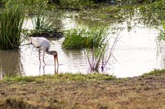 Stork busy fishing in a pond. In Maasai Mara Park in Kenya Stock Images