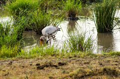 Stork busy fishing in a pond in Maasai Mara Park in Kenya. Stork busy fishing in a pond in Maasai Mara Park in Stock Images
