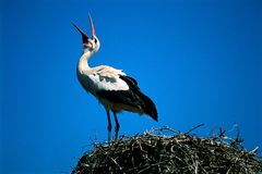 Stork call. Alsatian stork calling from the nest royalty free stock image