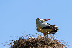 Stork call Royalty Free Stock Photography