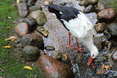 Stork catches a fish with its beak in the rocks Stock Images