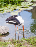 Stork catching food in the water Royalty Free Stock Photo