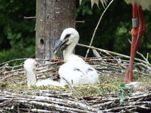 Stork Chicks Stock Photos