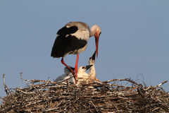 Stork with chicks, feeding/comforting Royalty Free Stock Images