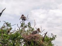Stork chicks Stock Images