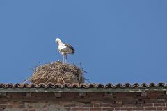 Stork with chicks in the nest. A typical white and black stork with chicks in the nest Royalty Free Stock Photography
