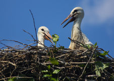 Stork chicks Royalty Free Stock Image