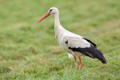 Stork (Ciconia ciconia) Stock Photography