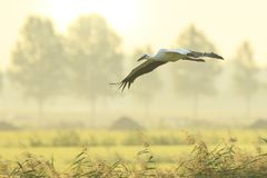 Stork Ciconia ciconia in flight landing on farmland on sunset Royalty Free Stock Photography