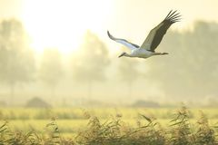 Stork Ciconia ciconia in flight landing on farmland on sunset Royalty Free Stock Photos
