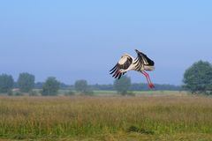 Stork, Ciconia ciconia in flight Royalty Free Stock Photo