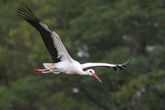 Stork Ciconia ciconia in flight. On a rainy day stock photography