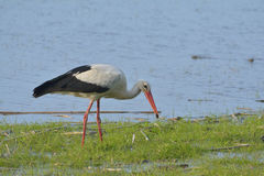 Stork (ciconia ciconia) Royalty Free Stock Images