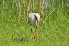 Stork (ciconiaciconia) Royaltyfri Bild